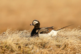 Long-tailed Duck | by Alan Gutsell