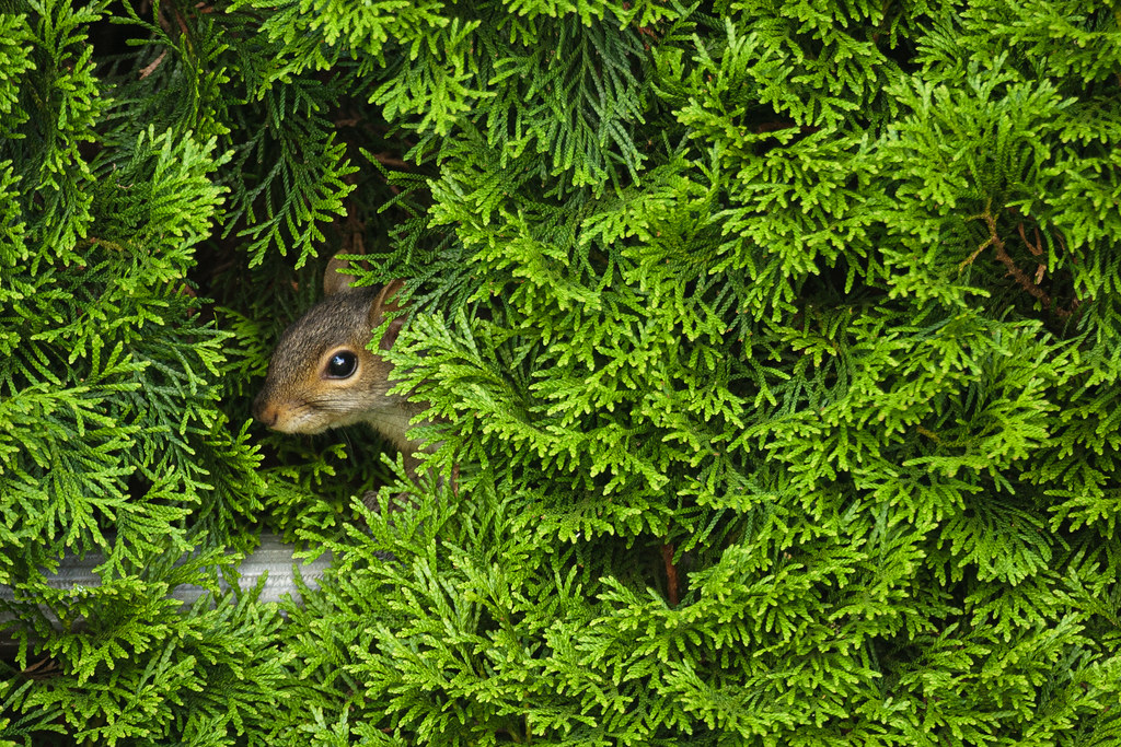 A squirrel peaks out from the neighbor's bushes in Portland, Oregon on June 17, 2007. Original: _MG_0704.cr2