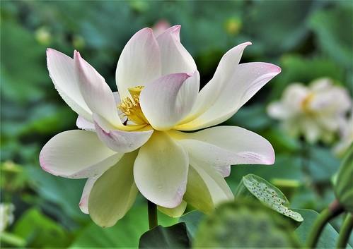 lily pond flower forestpark springfieldma janelazarz nature nikon p900 lotus walkingnewengland massachusetts