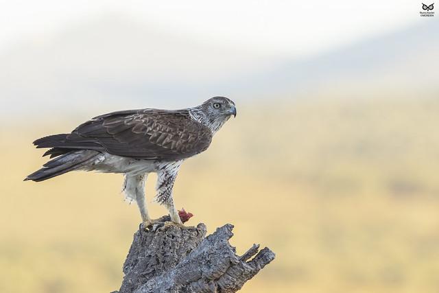 Aguia-de-bonelli, Bonelli eagle (Aquila fasciata)