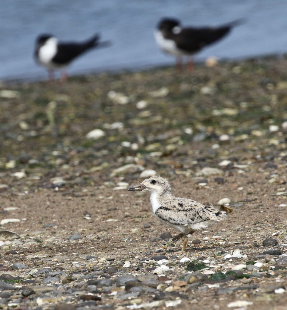 Black Skimmer chick with adults