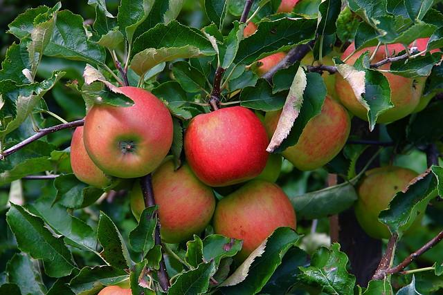 Rhönäpfel