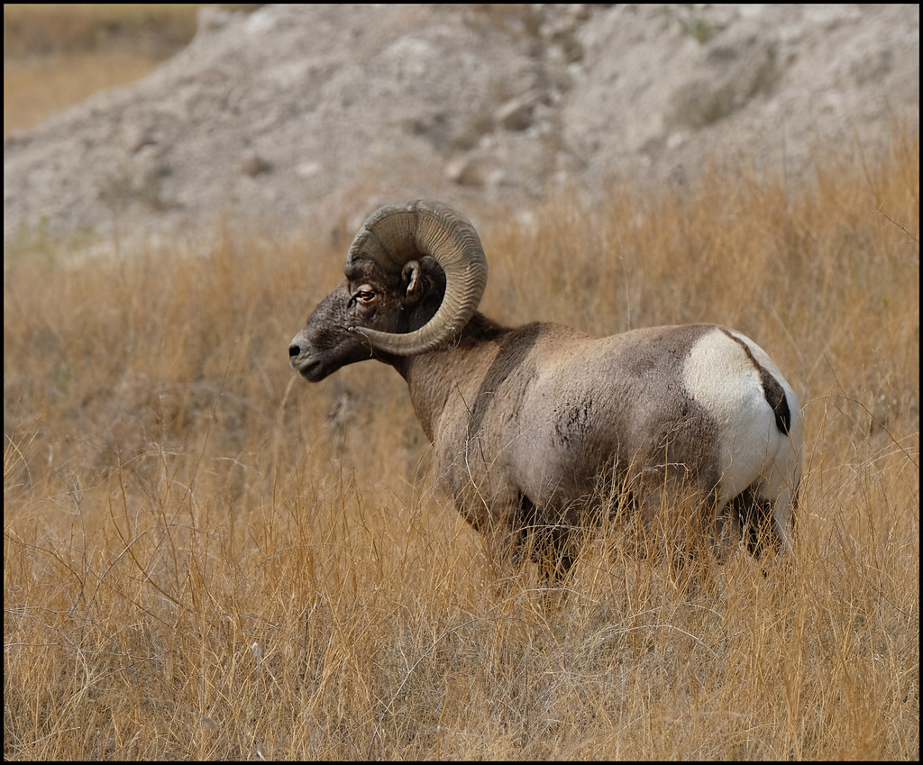 8-29-20 - Badlands Bighorn Sheep - 3