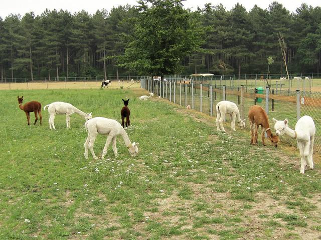 Alpaca Farm in Kaulille