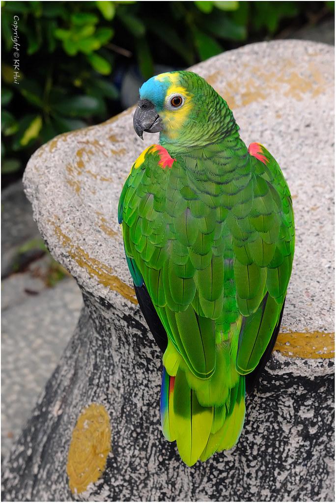 Blue-fronted Amazon Parrot (Amazona aestiva) - 300820_DSF1535j