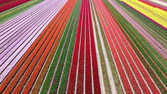 Drone shot of the tulip fields 2