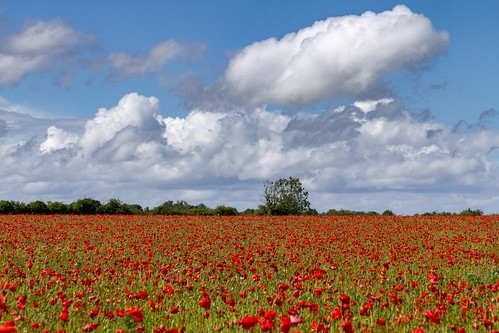 sigma2470mmf28 poppies canon7d hungerford england unitedkingdom landscape