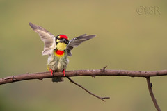 Coppersmith Barbet fluttering its wings