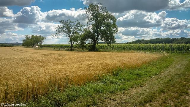 Weizenfeld im Kraichgau