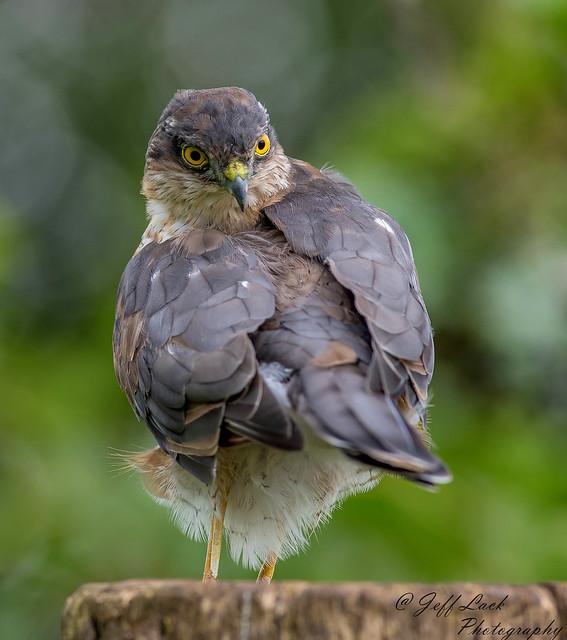 DSC1472  Sparrowhawk...