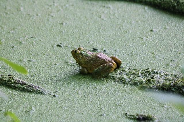 Big 'Ole Bullfrog