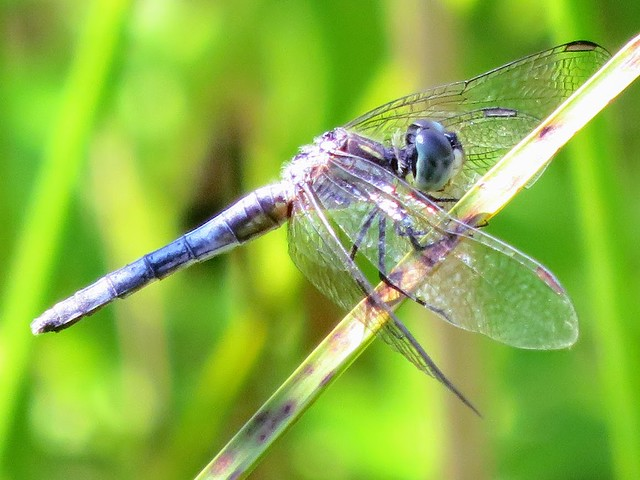 Blue Dasher dragonfly hanging onto the stick as it was very windy.