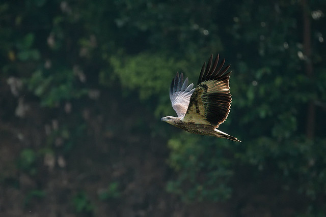 200829 - Changeable Hawk-Eagle (凤头鹰雕)