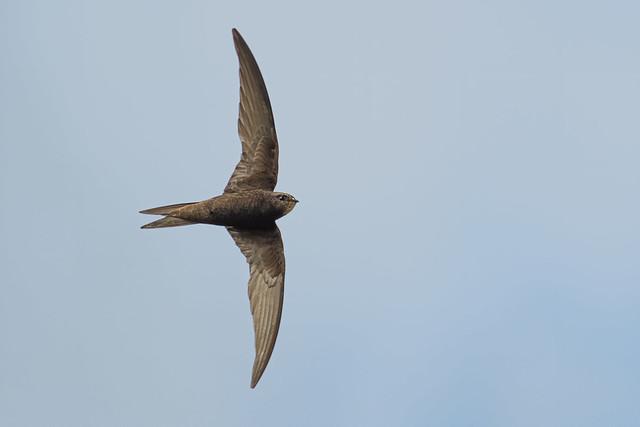 Common Swift (Apus apus), Frampton Marsh, Lincolnshire, United Kingdom