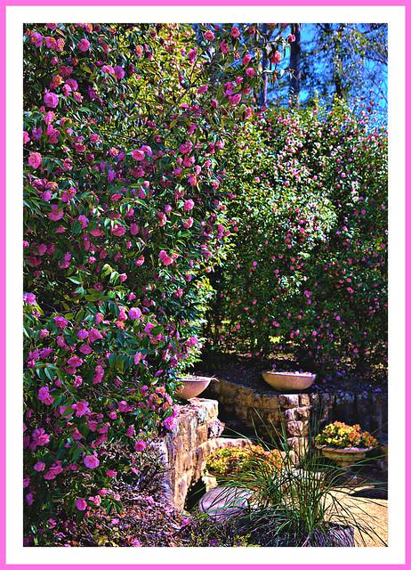 Camellia grove
