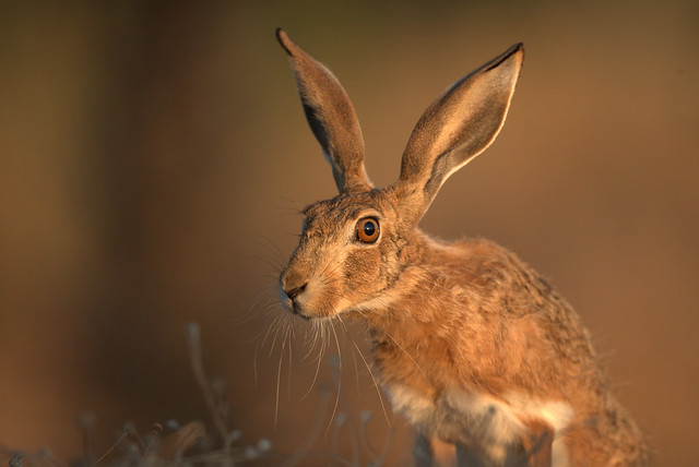 Lebre-comum, European hare, (Lepus europaeus)