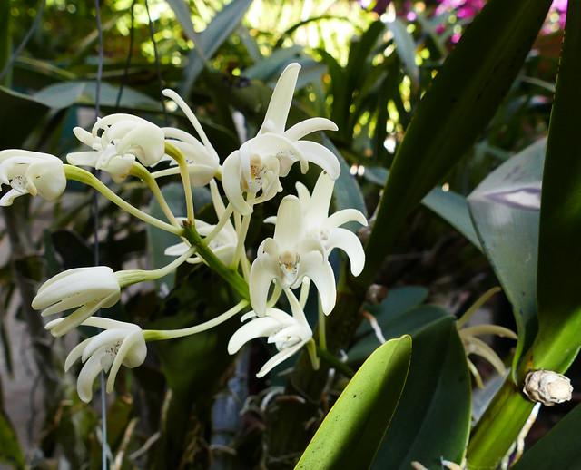 Dendrobium speciosum ('Zelda' x sibling) var. grandiflorum species orchid, 2nd bloom this year 7-20*