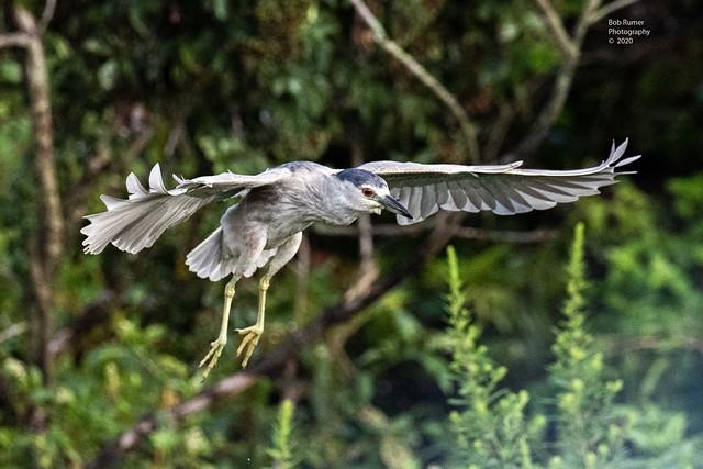 Black Crowned Night Heron.