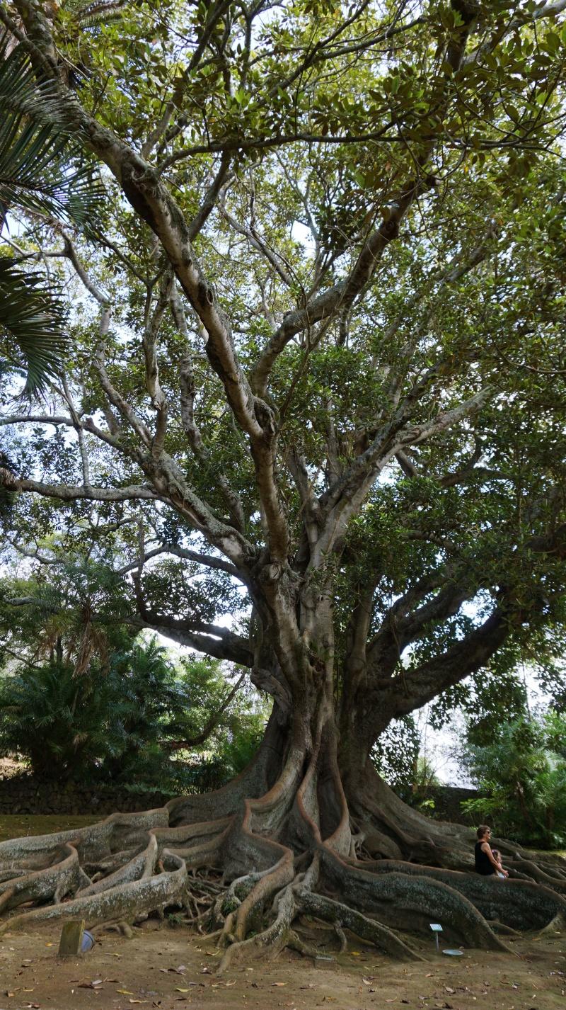 Azores tree