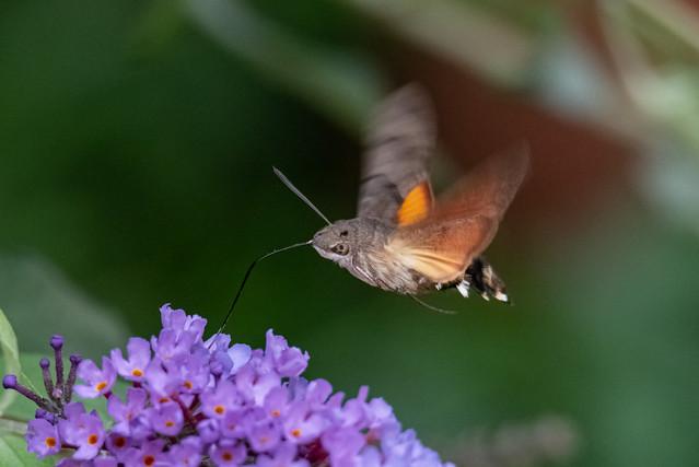 Taubenschwänzchen im Flieder / Hummingbird Hawk-moth in the Lilac
