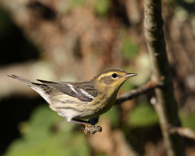 Blackburnian Warbler (Fall)