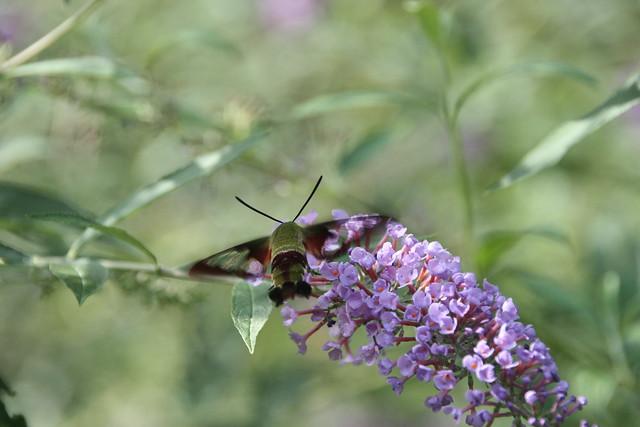 2020 243/366 8/30/2020 SUNDAY - Hummingbird Moth