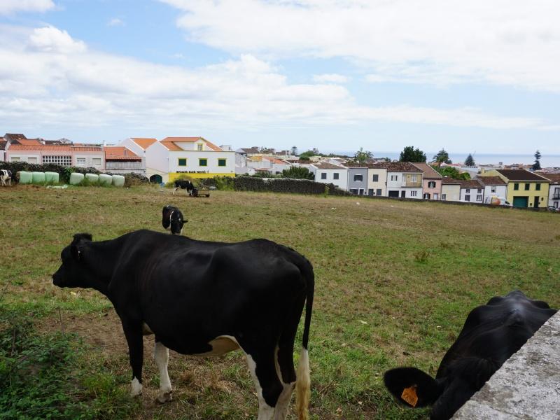 Azores cows