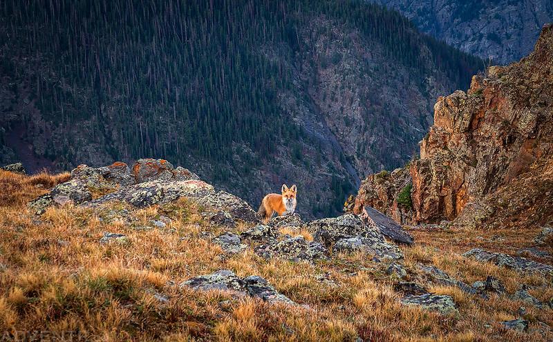 Fox at the Edge