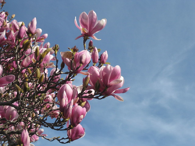 Blue Skies and Magnolia Blooms – Croxton
