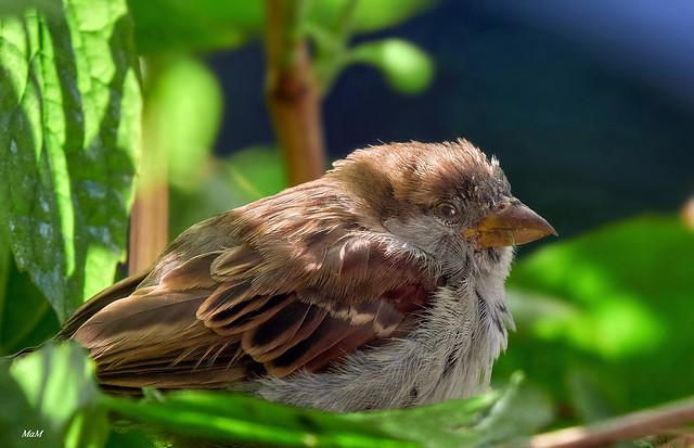 gorrión jovenzuelo - young sparrow