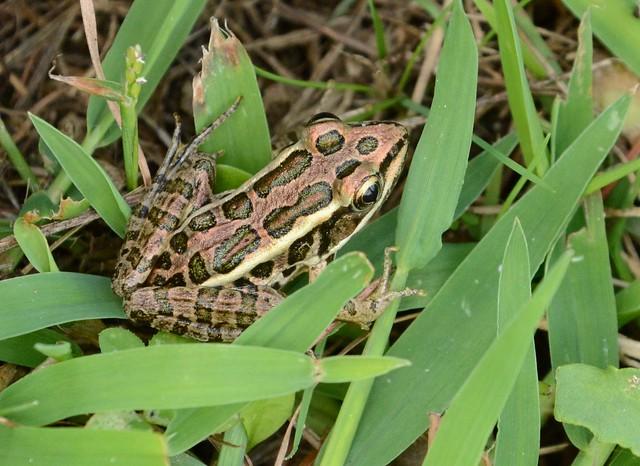 Pickerel Frog?
