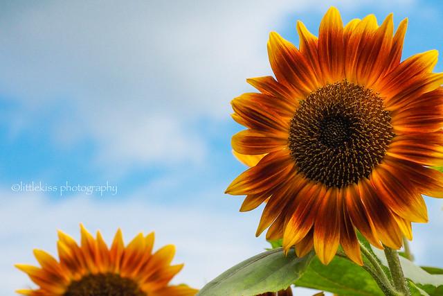 Sunburned Sunflower