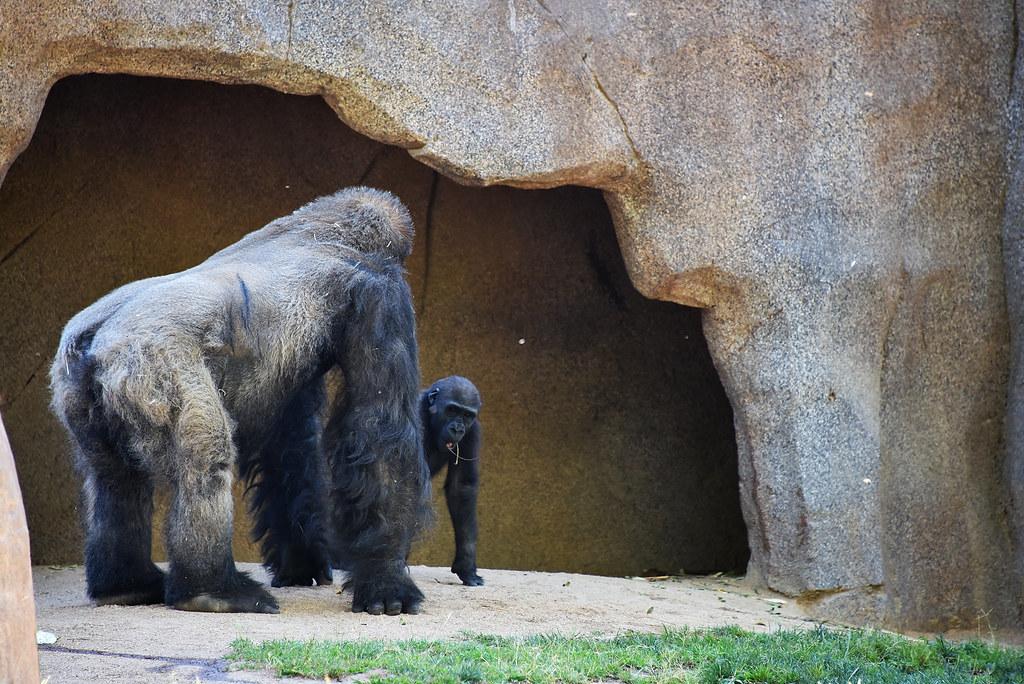 San Diego Safari Park baby Gorilla Joanne