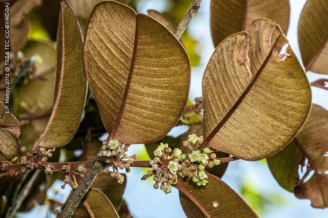 2012-10-31 TBZ-3288 Chrysophyllum mexicanum - E.P. Mallory