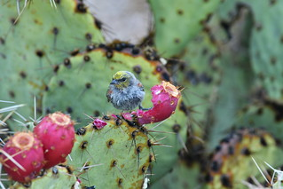 Verdin on Prickly Pear. Boulders.  Scottsdale / Carefree, Arizona | by kedailey