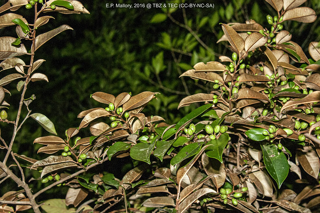 2016-03-08 TEC-1196 Chrysophyllum mexicanum - E.P. Mallory