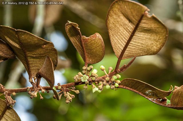 2012-10-31 TBZ-3289 Chrysophyllum mexicanum - E.P. Mallory