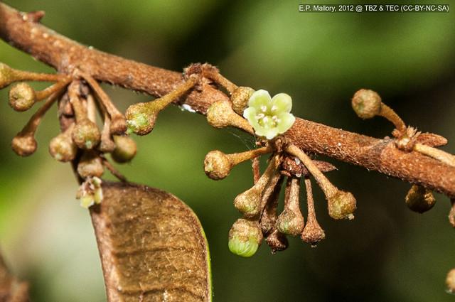 2012-10-31 TBZ-3298 Chrysophyllum mexicanum - E.P. Mallory