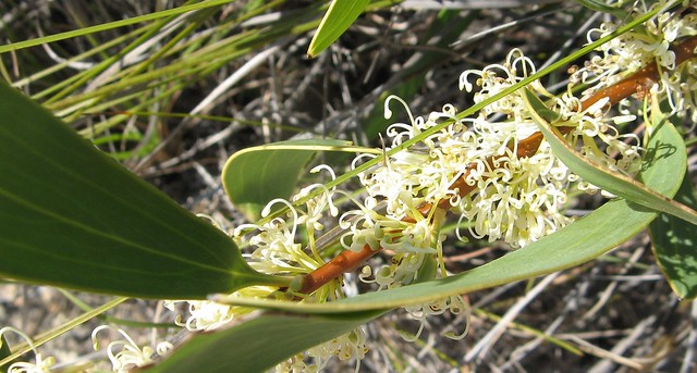 Blooming Hakea - Hakea florulenta