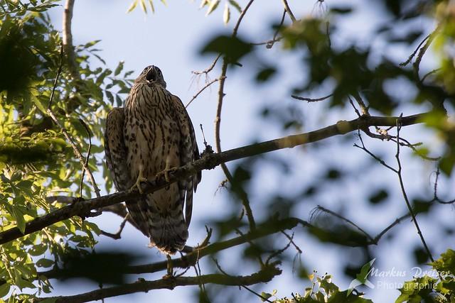 Rothabicht / Copper hawk
