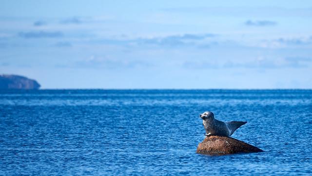 Sunbathing Seal at Kattegatt