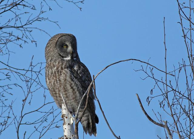 Great Gray Owl...#28