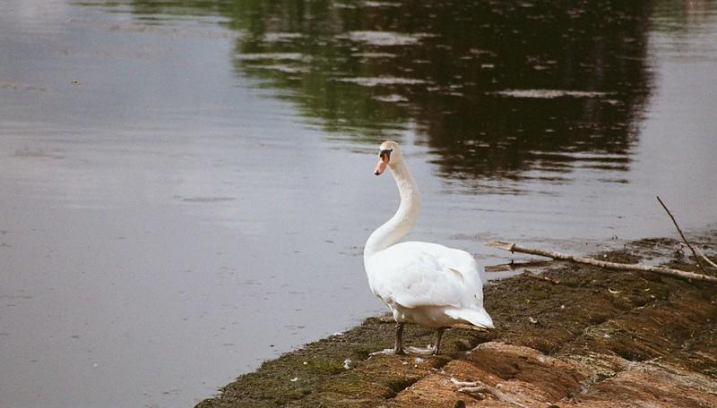 Pronea S sample shot of swan