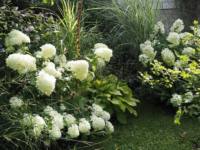 Hydrangea paniculata 'Magical Candle' & 'White Diamonds'