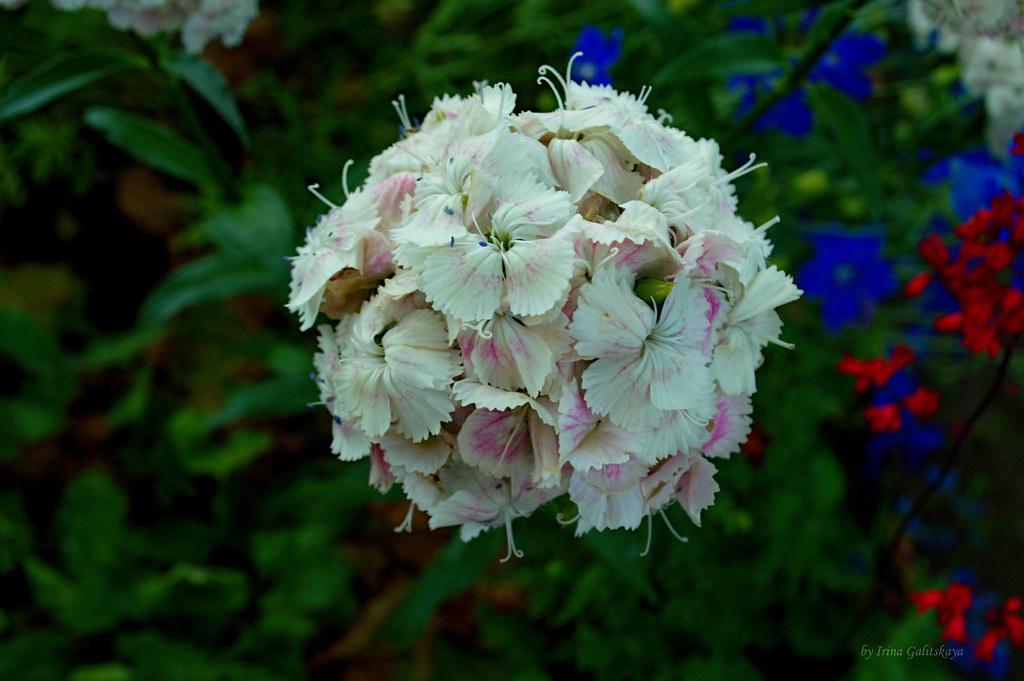 Dianthus barbatus, the sweet William