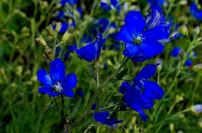 Linum narbonense, the perennial flax or blue flax