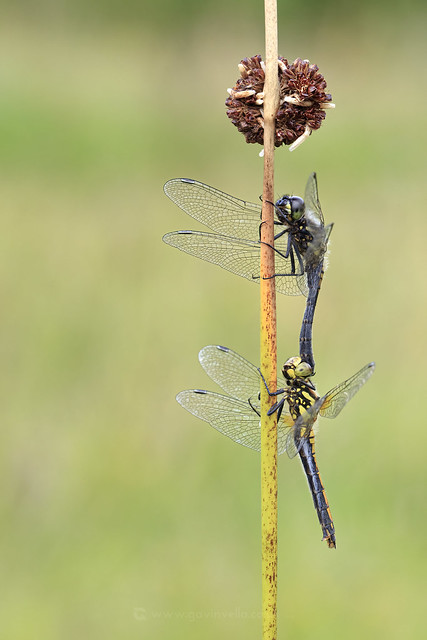 Black Darter Pair W - SR1A4103