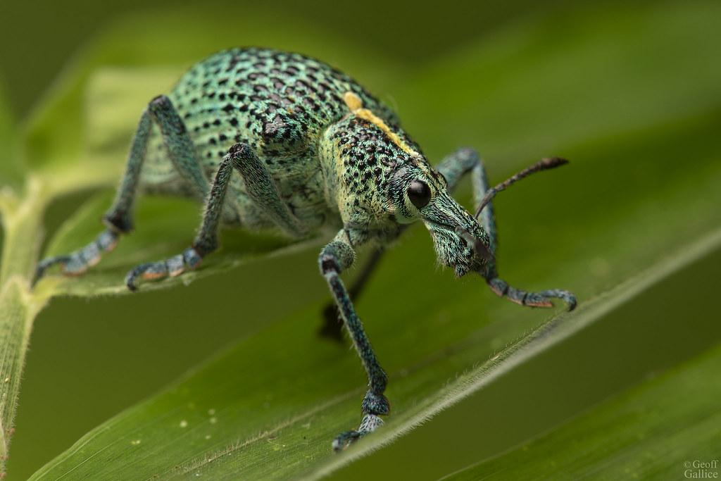 Weevil (Entimus sp.)