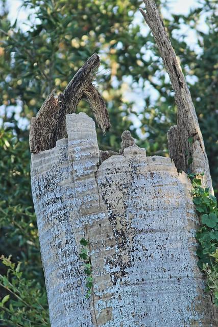 Barn Owl nest tree 01-20200830