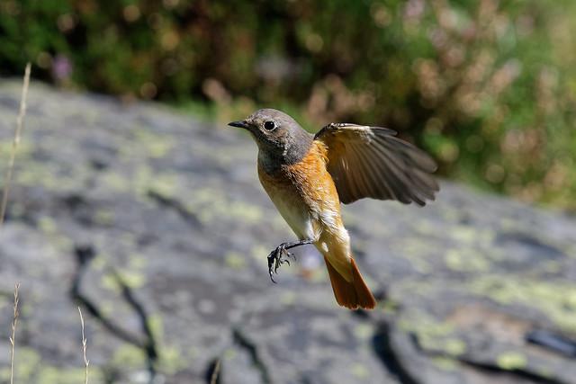 Rougequeue à front blanc (3) - Phoenicurus phoenicurus - Common Redstart - Passériformes - Muscicapidés